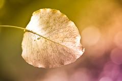 ...we all do fade... (Proleshi) Tags: autumn naturaleza blur detail hoja texture natur