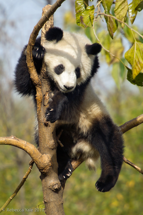 RYALE_Panda_Bears_44