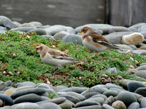 23671 - Snow Buntings, Ynyslas