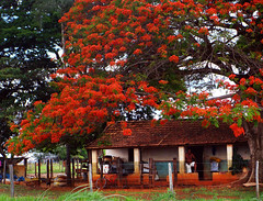 Private Getaway (osvaldoeaf) Tags: flowers autumn roof red brazil people house tree nature bike bicycle rural fence garden landscape petals spring farm branches blossoms cerrado goinia gois ponciana wonderfulworldofflowers