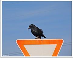 Raven Xing