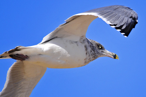 flying gull's eyes