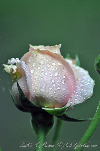 New Rose after the rain