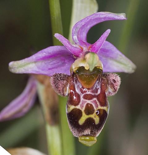 Ophrys scolopax? et errances taxinomiques - Page 2 5188837284_94e28ba25e