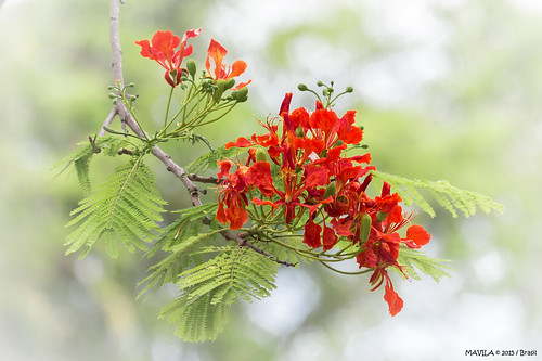 Flamboyant  ( Delonix regia )  -  Royal Poinciana