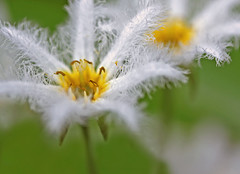 *Water Snowflake* *Nymphoides indica* ** (sasithorn_s) Tags: flowers friends white macro nature garden pond waterplant nymphoidesindica menyanthaceae mywinners watersnowflake betterthangood theperfectphotographer excellentsflowers qualitygold ringexcellence