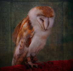 Excuse Me Napping!!  I'm Out Hunting Tonight.... (Wire_cat) Tags: bird texture photoshop ngc owl barnowl birdofprey manipulatedimage rushden wirecat rushdencavalcade 5wonderwall