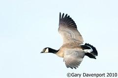Canada Goose (subspecies) (Garebear400) Tags: wild canada bird geese nwr ridgefield fantasticnature