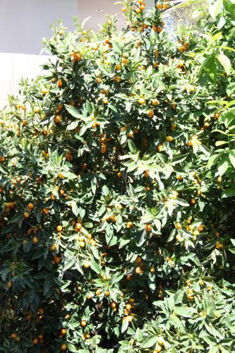 Cumquat tree - before