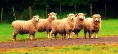 it's like they're watching me... (Spring.Break) Tags: newzealand panorama animals sheep 5 five northisland animalplanet picnik farmanimals odt
