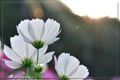 新埔田園 (gupeen) Tags: flowers flower nikon 105 花 台灣 mirco 新埔 d90 美麗
