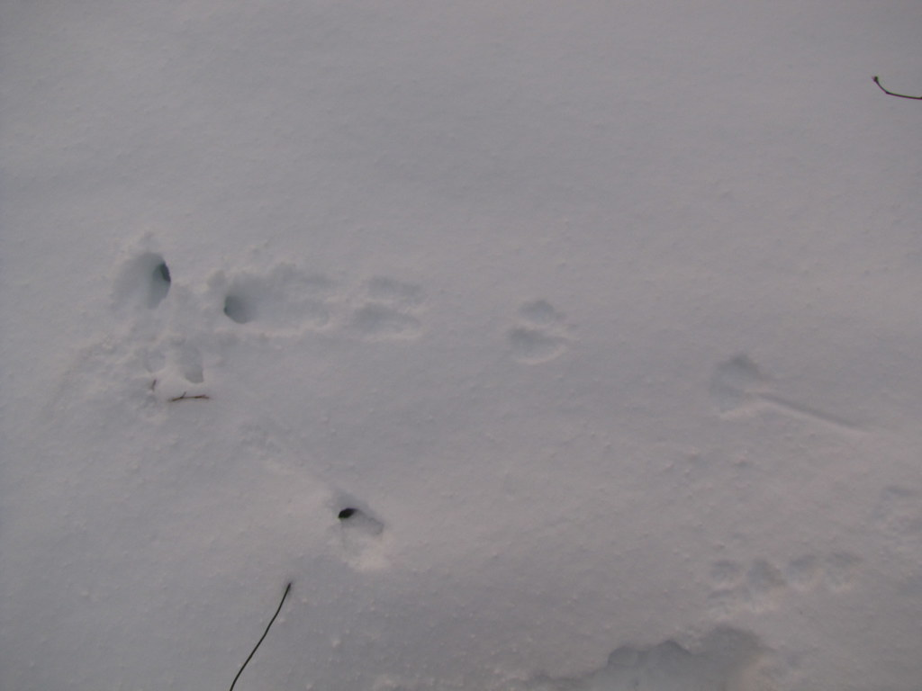 LONG-TAILED WEASEL TRAIL