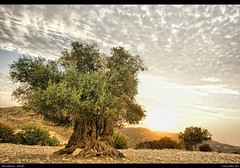Cyprus Olive Tree (polis poliviou) Tags: wood old sun heritage nature leaves sunrise europe mediterranean cloudy wildlife traditional hill olive cyprus oil land aged tradition cipro visualart mediterraneansea polis zypern cypriot shootingstar larnaka oleaeuropaea chypre olea chipre brilliantphoto cipru colorphotoaward   lovecyprus oldolive afiap   mediterraneanisland   theunforgettablelandscapes tmiaward superaward flickraward creativeyeuniverse poliviou polispoliviou masterpieceaward artistefiap    agedolive cyprusinyourheart allrightsreservedbypolispoliviou lageia