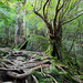 "Yakushima forest • <a style=""font-size:0.8em;"" href=""https://www.flickr.com/photos/40181681@N02/5208509788/"" target=""_blank"">View on Flickr</a>"