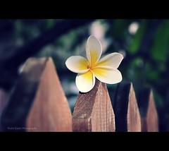 Happy {tropical fence} Friday! (Violet Kashi) Tags: wood flower fence photography telaviv dof plumeria bokeh explore frangipani tropic frontpage צילום hff fencefriday