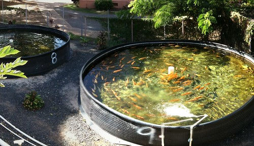What are some commercially grown aquaculture in Hawaii and ...