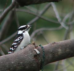 Downy woodpecker (fishhawk) Tags: bird birds woodpecker downywoodpecker birdfeeder feeder woodpeckers feeders birdwatcher birdfeeders