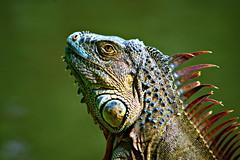 Iguana profile (Now and Here) Tags: ontario david is costarica head reptile profile lizard iguana scales lagarto efs cr reptil heredia centroamrica inbioparque escama f456 farrant 40dcanon 55250mm canoneos40ddslrcanon isherediaontariocosta ricaiguanaprofileheadlizardreptilelagartoreptilscalesescamainbio parqueinbioparqueherediacosta ricacentroamrica 2010canoneos40ddslrcanon