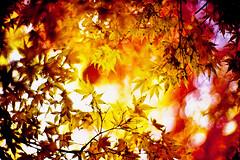 shimmer of the November sun (moaan) Tags: life leica november autumn color yellow 50mm gold dof bokeh diary momiji kobe utata rokko mp hue tinted shimmering 2010 f095 brightyellow fujivelvia100 tinged rvp100 goldenyellow leicamp japansemaple canonf095 goldendays inlife canon50mmf095 gloriousdays 再度山公園 diaryofnovember autunaltints gettyimagesjapanq1 gettyimagesjapanq2