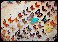 Migration (Mary Vican) Tags: camera texture vintage butterfly flying wings colorful order florida cluster border group flight moth taxidermy lepidoptera species migration multicolor viewfinder migrating butterflyworld ttv