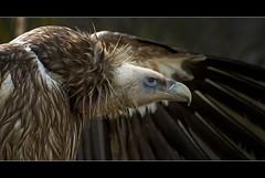 Griffon Vulture (Blitzknips) Tags: bird animals tiere vulture tierpark vogel geier tierparkberlin blueribbonwinner gänsegeier specanimal itsazoooutthere specialpictures thewonderfulworldofbirds naturesgreenpeace