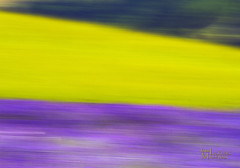 P_MG_4593 (Foto Massimo Lazzari) Tags: lavanda paesaggi panning
