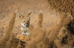 _04A8974 (Paolo_Riquelme_Quiroz) Tags: zorro gris chilla grey fox animales animals fauna nativa desierto desert cactus punta de choros la serena coquimbo reserva nacional sigma 150600mm contemporary canon 5d mark iii