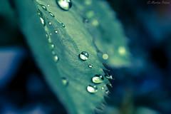 🌿 (martinap.1) Tags: macro nikon40mmmacro nikond3300 nikon nature natur drops droplet tröpfchen grün greatlight green blätter blatt blue blau bokeh outside outdoor pflanze rosenblatt leaf makro light