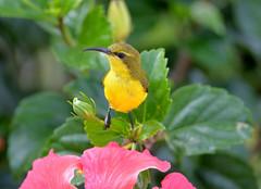 Sunbird_Cairns_June 2017_DSC_1486_2 (renrut01) Tags: birds sunbird cairns qheensland north yellow beak