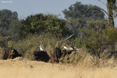 Egrets Riding on Cape Buffalo (naturalturn) Tags: herd buffalo capebuffalo egret greategret moremi moremigamereserve okavangodelta okavango delta botswana image:rating=5 image:id=204480