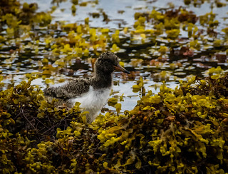 Young oystercatcher (1 of 1)