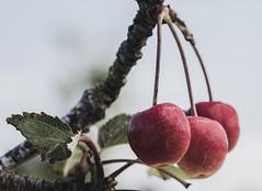 Wild cherries or cherry apples (diversity.love) Tags: wildandfree deeratetheleaves lastthreecherries backforty jantimmons pacificnorthwest red threeredcherries cherries closeup nikon105mm sigma135mm d810 circpolarizer 7dwf wednesdaymacrocloseup