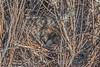 Loggerhead Shrike Nest in New Mexico Grassland (Lee Rentz) Tags: laniusludovicianus lesserprairiechicken loggerheadshrike newmexico prairiechicken tympanuchuspallidicinctus america animal behavior bird branches breeding brood brooding bush camouflage camouflaged courtship disguised display eggs family grasses grassland habitat hidden lek leks location nature nest nesting northamerica outdoors prairie raising shortgrass shortgrasssteppe shrike shrub southwest twigs unitedstates usa wild wildlife young
