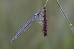 Pearls like diamonds (Xtraphoto) Tags: morgentau pearls drops tau tautropfen insekt libelle