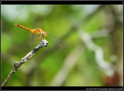 White-faced Meadowhawk (Sympetrum obtrusum) 2