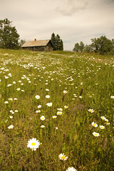 Cabin and Daisies (Mike Bingley) Tags: abandoned spring alberta 2010 beavermines castlespecialplace