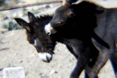 donkey bites