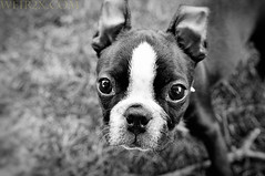Boston Terrier Portrait (weir2x) Tags: portrait bw dog pet animals bostonterrier melrose nibbler 1755mmf28nikkor weir2x