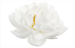 White Flower (Bahman Farzad) Tags: flowers white flower yoga whiteflower peace waterlily relaxing peaceful meditation therapy