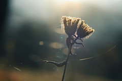 25th hour. (next_in_line) Tags: backlight ties bokeh warmth dry drought embrace sparks threads atlast