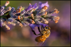 Early Morning Bee, Umbria (mistermacrophotos) Tags: morning italy macro water canon insect early droplets lavender bee dew mk2 5d umbria