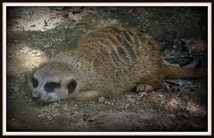 Its so hot.... (T.J. (Tanya Jo)- Back again) Tags: zoo meerkat memphis picnik