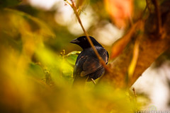 (Leandro Venancio) Tags: brazil bird paraná brasil canon pássaro floresta árvore 70200 f4 xsi marinas guaíra 450d