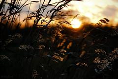 golden dusk (=Я|Rod=) Tags: autumn sunset sun blur fall reed grass silhouette glow sonnenuntergang dof forsale bokeh outoffocus f45 bremen dreamlike magical iso500 ochtum 11000s juncaceae imagekind nikond80 1352025mm tamron7020028 ©rerod grolland mygearandmepremium mygearandmebronze я|r