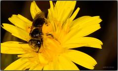 Libando (Fotgrafo-robby25) Tags: insectos macrofotografa canoneos5d canonef180mm floresyplantas abejasavispasyabejorros
