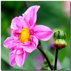 Dahlia (PHOTOPHOB) Tags: pink dahlia flowers autumn red summer plants plant flores flower color macro rot nature fleur beautiful beauty sex fleurs ball germany garden petals spring colorful flickr dof autum stuttgart blossom bokeh sommer herbst natur flor pflanze pflanzen blumen bloom otoo blomma dalie blume fiore blomst asteraceae outono dahlias dalia frhling bloem jesie floro kwiat pompons killesberg dahlie sonbahar dahlien kvt blomman efterr blomsten myowncreation bej fantasticflower bokehlicious dalio colorphotoaward aplusphoto colourartaward photophob awesomeblossoms theperfectpinkdiamond balldahlien