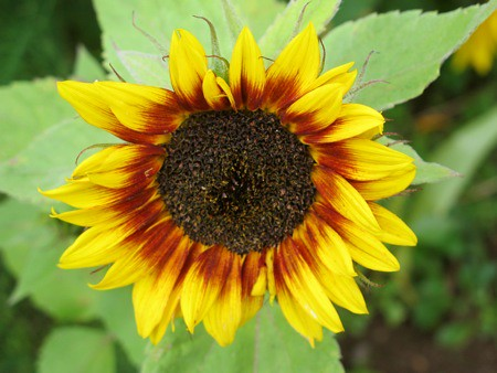Sunflower in Farmer Bob's Garden