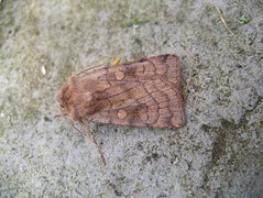 ?Least yellow underwing moth