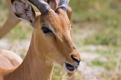 Impala (Rossell' Art) Tags: africa nature head wildlife botswana impala gazelle antilope tête herbivore afrique sauvage ruminant wildnature viesauvage afriqueaustrale naturesauvage