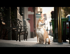 Sidewalkin' - 35/52 (kaoni701) Tags: sf sanfrancisco city portrait dog puppy japanese nikon flash tokina financialdistrict wireless shibainu cinematic f28 cls 535 shibaken  strobist 50135 sb900 d300s 52weeksfordogs kaoni701 jonathanfleming